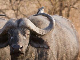 تفسير رؤية الجاموس او البقرة فى المنام بالتفصيل